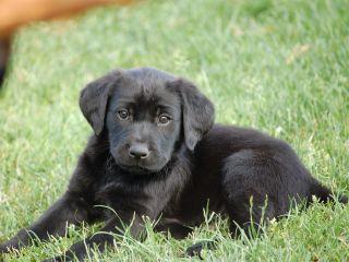 hundehvalpe labrador